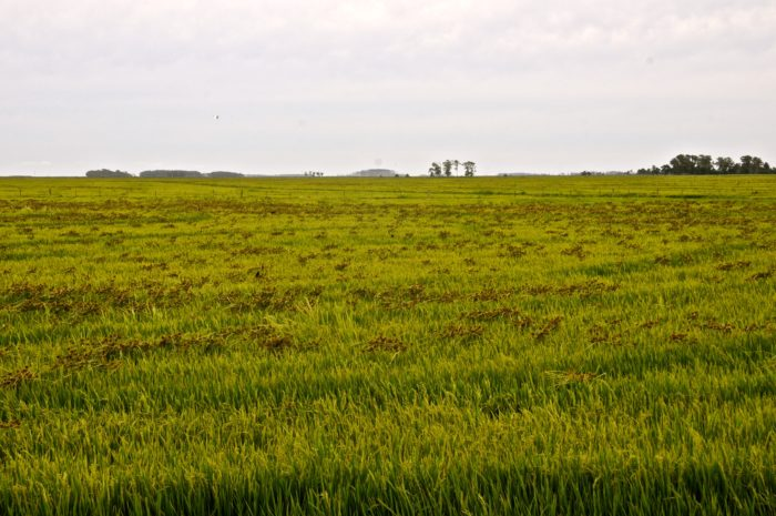 Vista de lavoura de arroz infestada por C. erythrorhizos Santa Vitória do Palmar