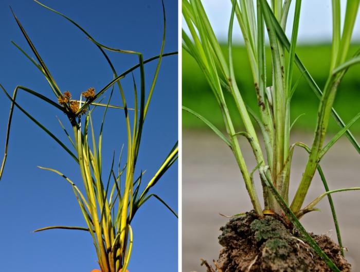 Planta anual, cespitosa e se reproduz por sementes